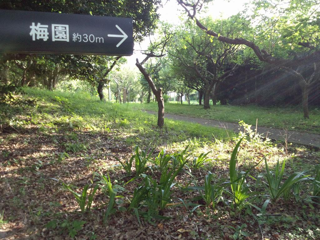 印旛沼公園 梅園