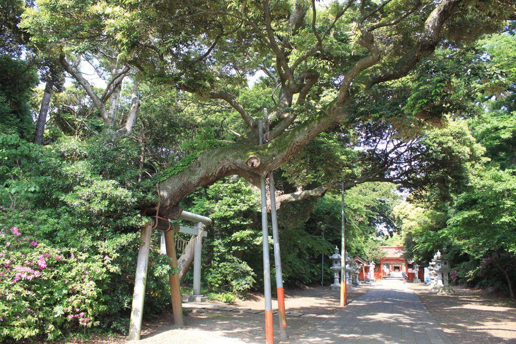 境内の大木