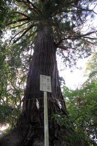 御神木「千年杉」